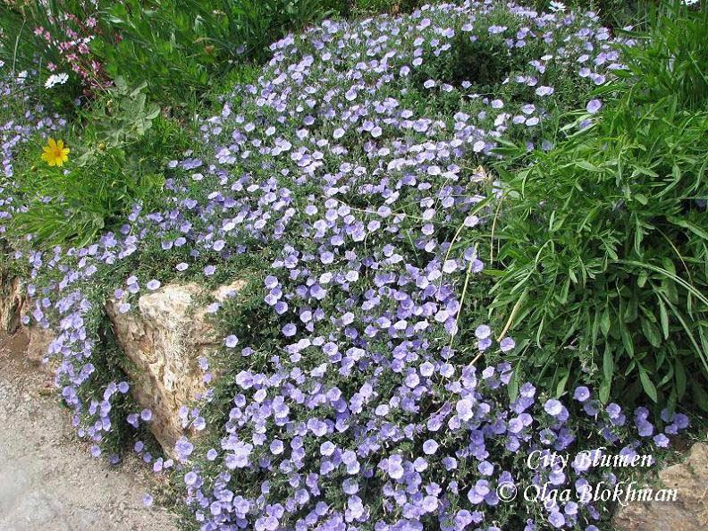 время цветения Вьюнок скальный: июнь, июль, август срок жизни: однолетник цвет цветков: голубой размер цветков...