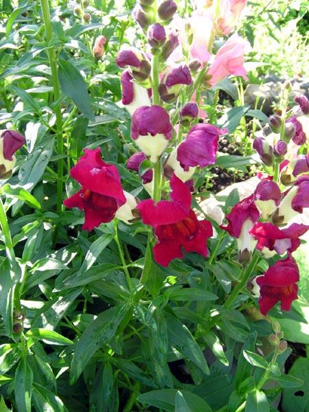 львиный зев цветок фото: