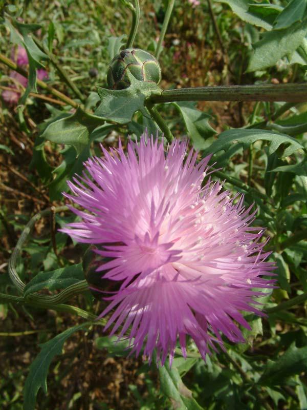 Плетистые розы  сорта описание и фото Садовые цветы и