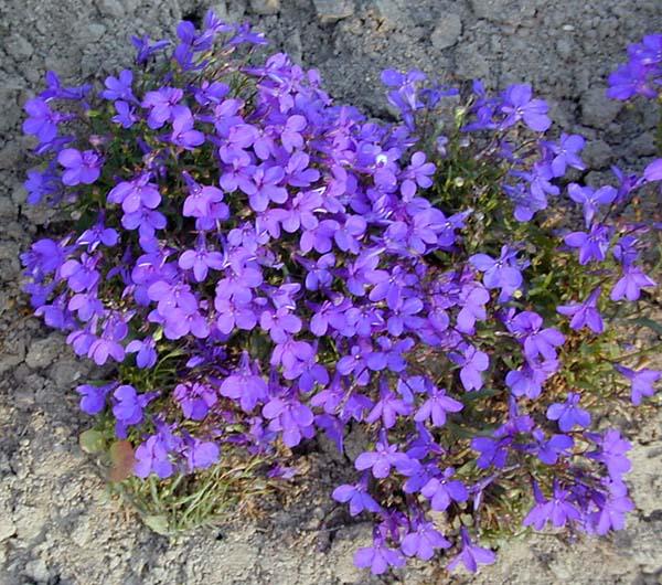 Купить рассаду цветов:Лобелия