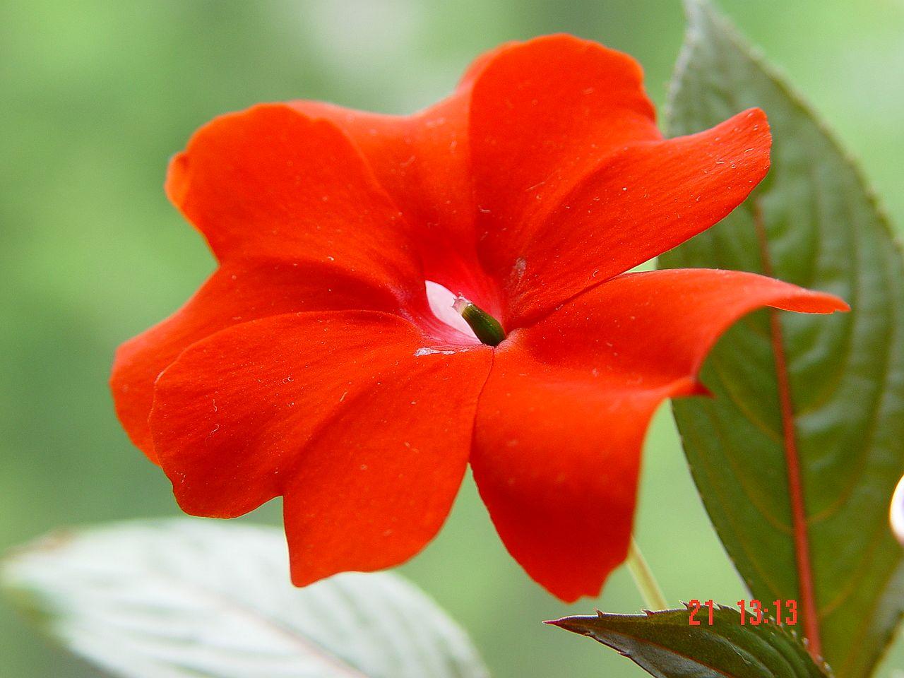 Бальзамин новогвинейский цветок фото