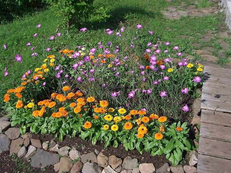 Фото многолетние хризантемы