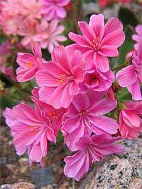 Растения для альпинариев