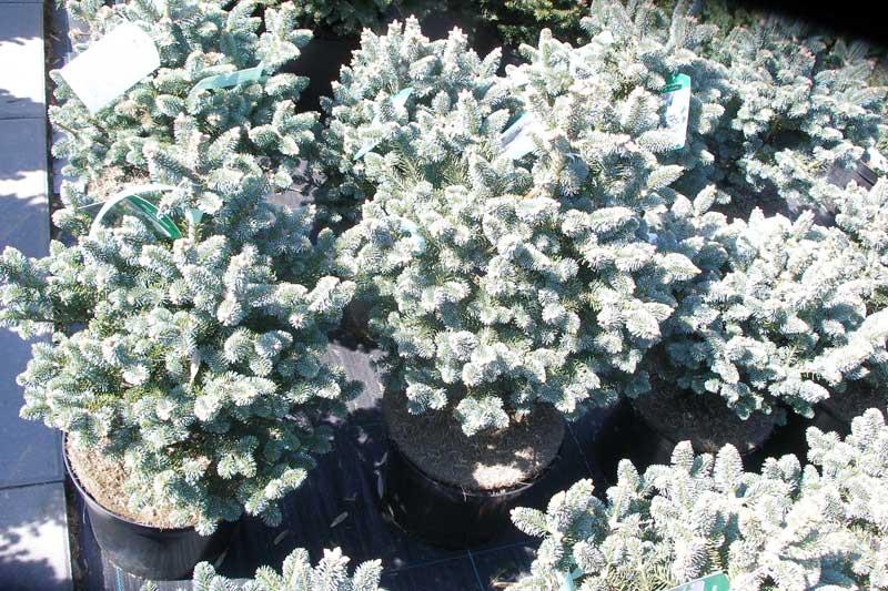 фото всех декоративных деревьев цветущих