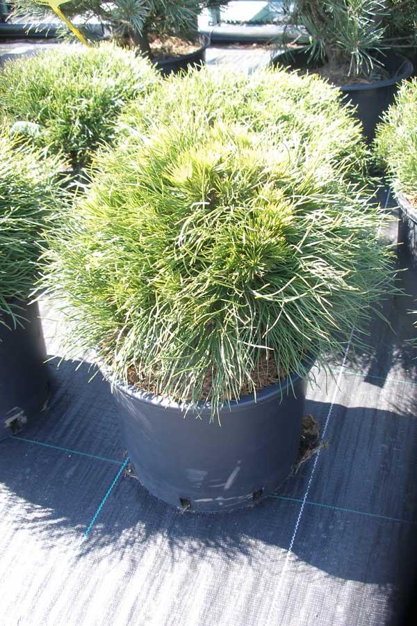 Коллекционные растения