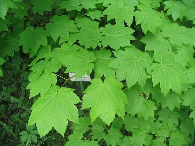 Клен завитий (A. circinatum Pursh.) - опис, види, фото...