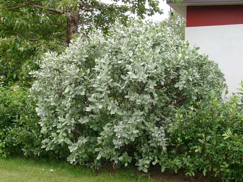 for Arbre de jardin a croissance rapide