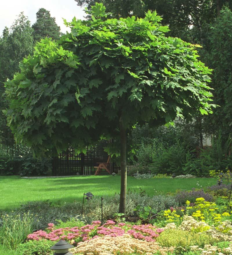 Лиственные деревья.  Клен остролистный 2-3 метра.  Каталог.