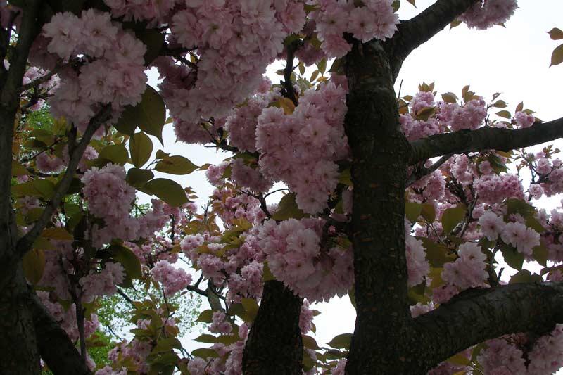 http://flower.onego.ru/kustar/enc_1618.jpg
