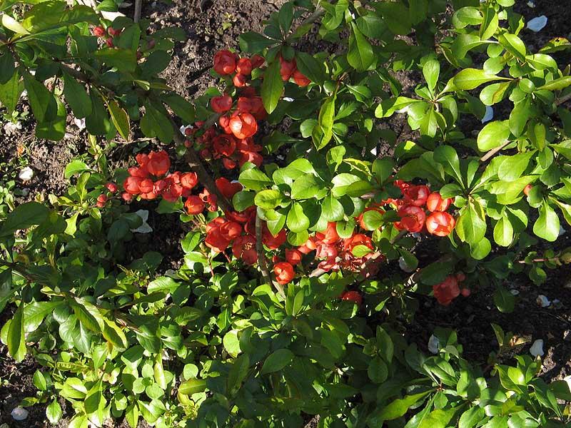 Цвет пыльная роза фото  photosfloweryru