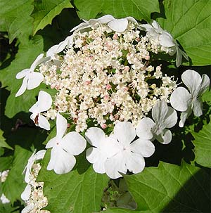 """Калина -  """"свадебное дерево """".  Невеста перед свадьбой дарила жениху полотенце, расшитое листьями и ягодами калины."""