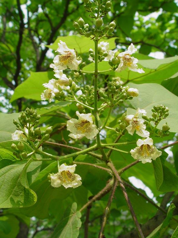 Дерево с крупными листьями и белыми цветами