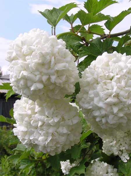 Рис 27294 - декоративные кустарники и многолетние травянистые растения: роза плети.