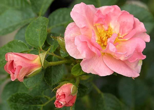 Роза морщинистая сорта