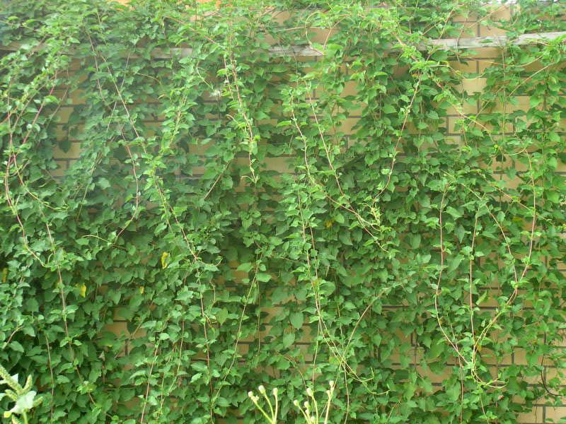У вьющихся лиан отвесное положение стебля сменяется круговым вращением, с помощью которого и происходят поиски опоры...