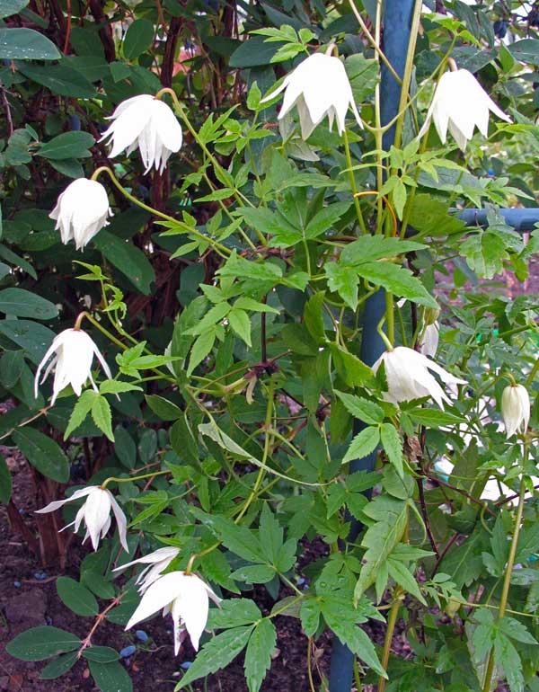 княжики цветы фото