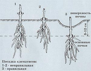 Полная энциклопедия цветов.  ДАЧА.  Очень много ссылок про дачу.  Как правильно посадить клематис.