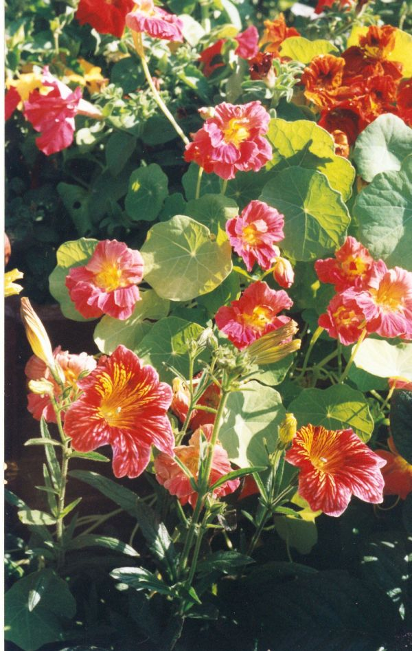 http://flower.onego.ru/liana/enc_6541.jpg