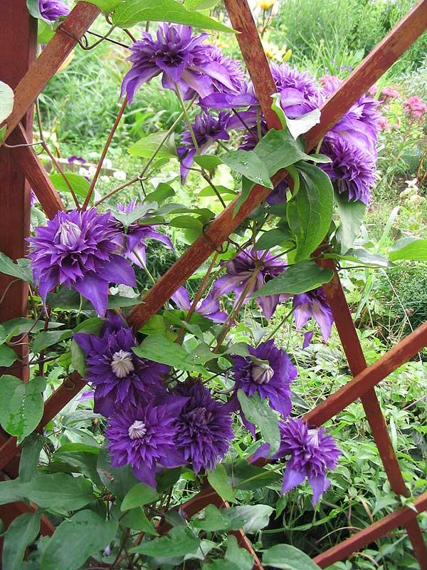 http://flower.onego.ru/liana/enc_9488.jpg