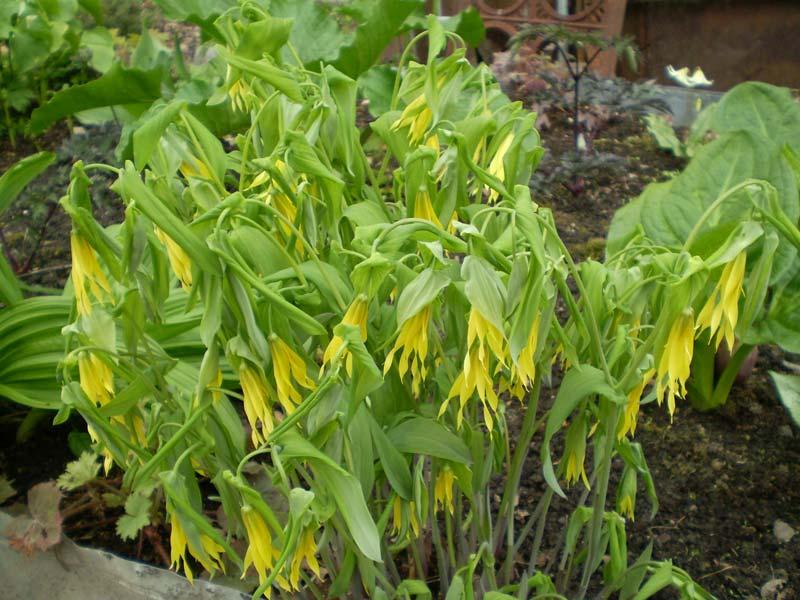 Местоположение такого растение должно быть в тенистых местах.  Если растение высаживать на открытых солнечных местах...