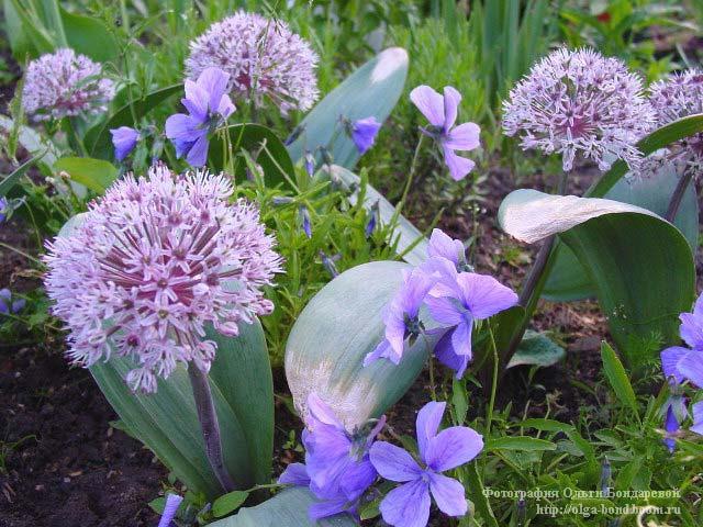 Лук голубой имеет вкусные треугольные в сечении листья. Фото лука