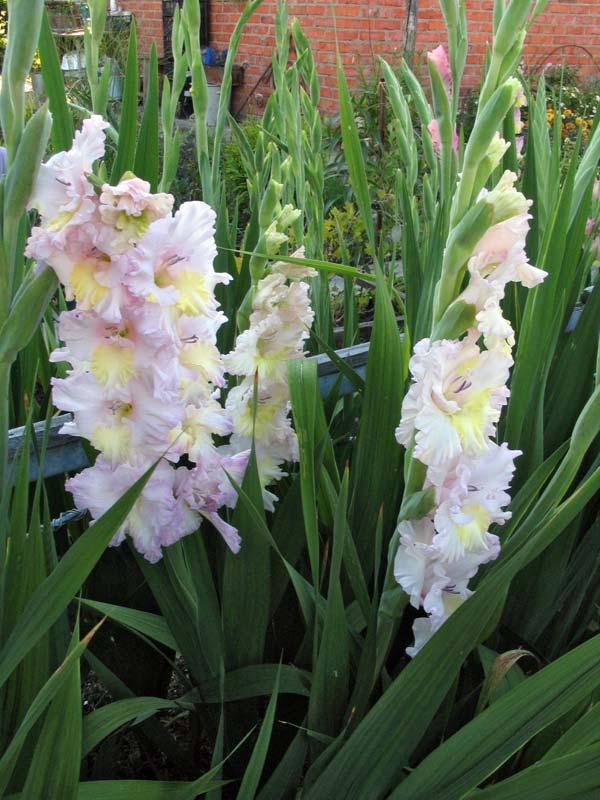 розовые садовые цветы Гладиолус (Шпажник) фото, выращивание, посадка и уход, купить Гладиолус (Шпажник) семена.