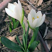 Штернбергия  floweronegoru