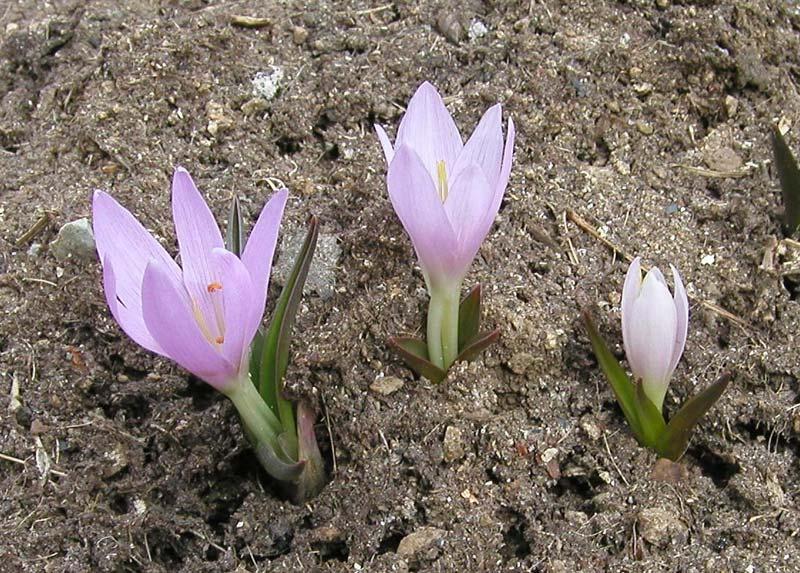Растения для альпинария мерендера merendera