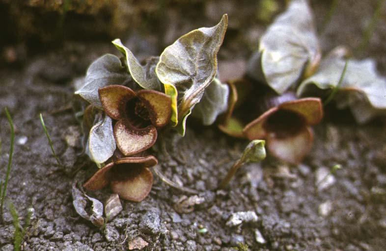 Ядовитые растения омской области