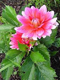 http://flower.onego.ru/lukov/enc_0115.jpg