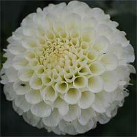 http://flower.onego.ru/lukov/enc_8822.jpg