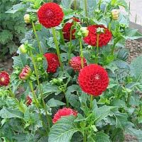 http://flower.onego.ru/lukov/enc_8826.jpg