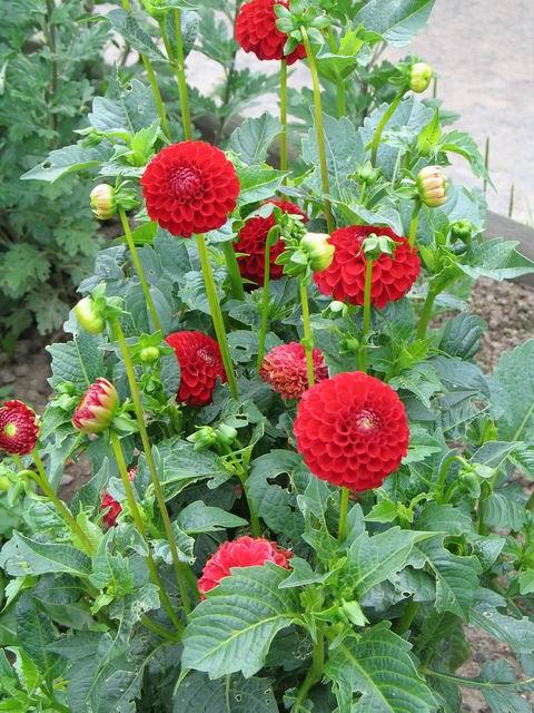 Как садовая культура, георгины получили свою известность с конца XVIII века.