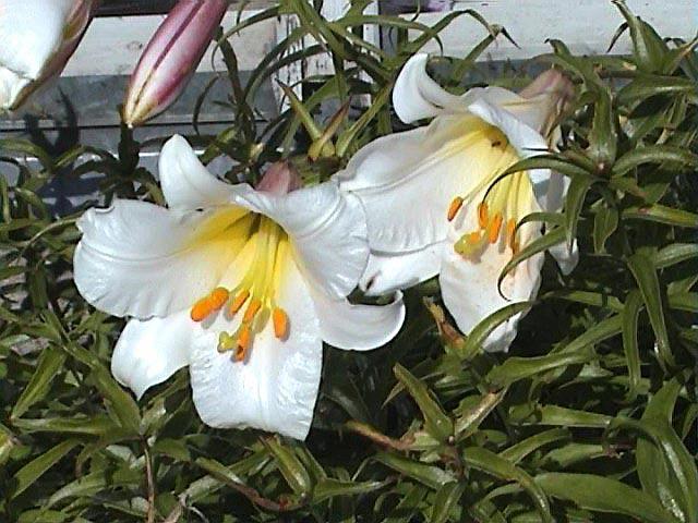 фото трубчатая лилия