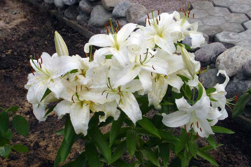 Посадка цветов лилии белой.  Фотохостинг - фотографии, картинки, изображения.