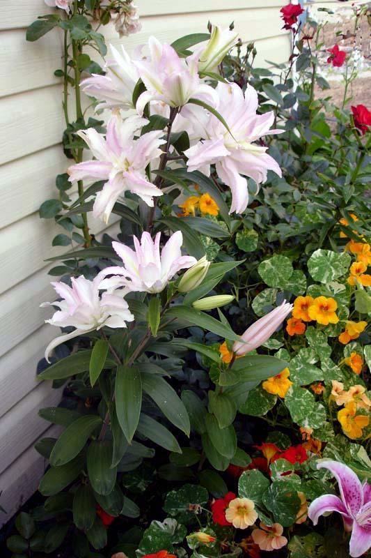 http://flower.onego.ru/lukov/lilium/ena_9640.jpg