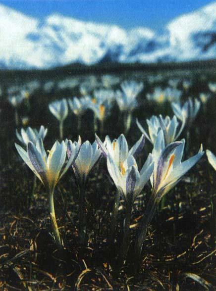 http://flower.onego.ru/lukov/tulipa/tulipa46.jpg