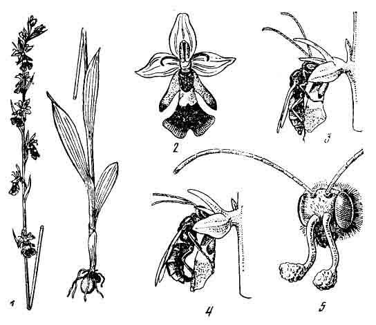 Опыление офрис насекомоносиой