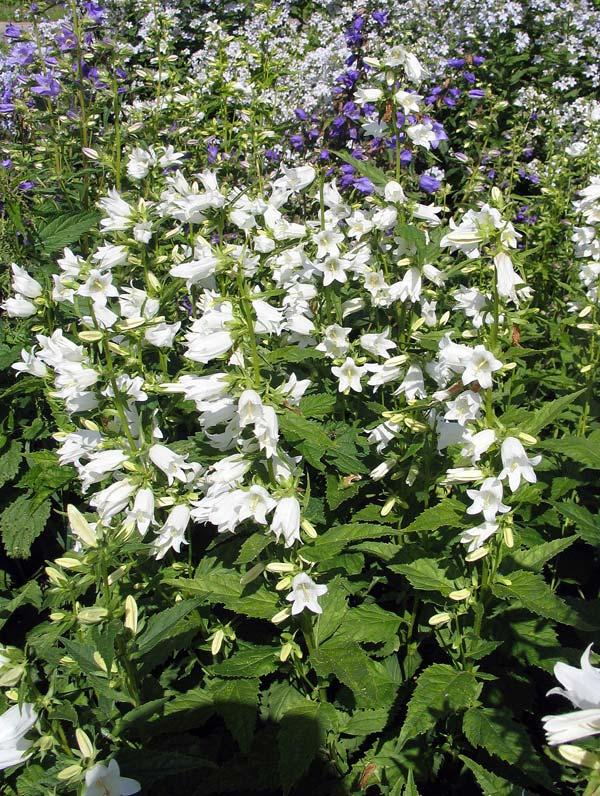 декоративные садовые цветы белые Колокольчик высокорослый фото, описание, выращивание и посадка, уход и полив.