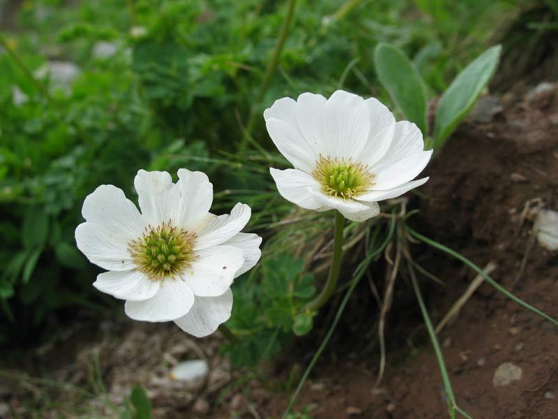 Многолетние цветы для дачи в сибири