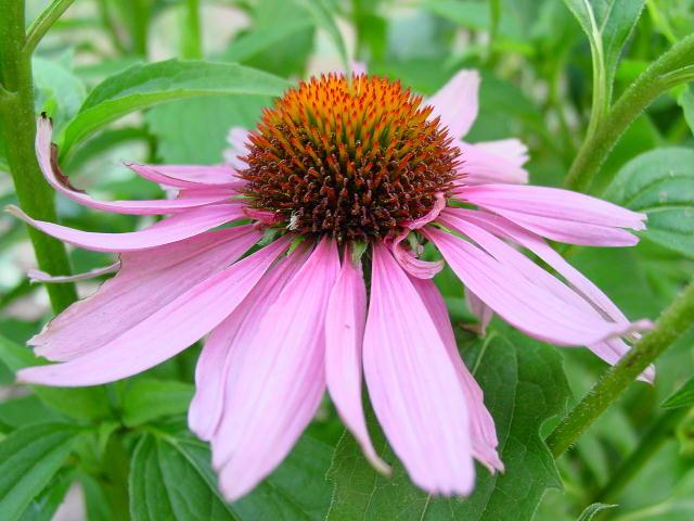 Эхинацея - дикорастущее растение прерий с похожими на маргаритки пурпурными соцветиями.  Многие годы племена.