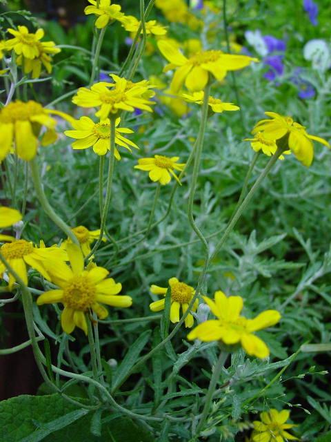 Цветут летом эриофиллум шерстистый e