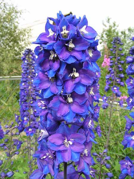 Размножают семенами.  Выращивают на солнечных участках, на удобренных, умеренно влажных почвах.