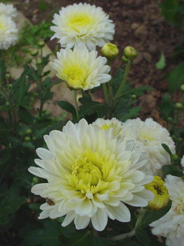 ранние сорта хризантем