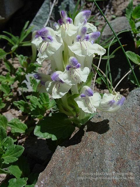 Scutellaria baicalensis  Materia Medica