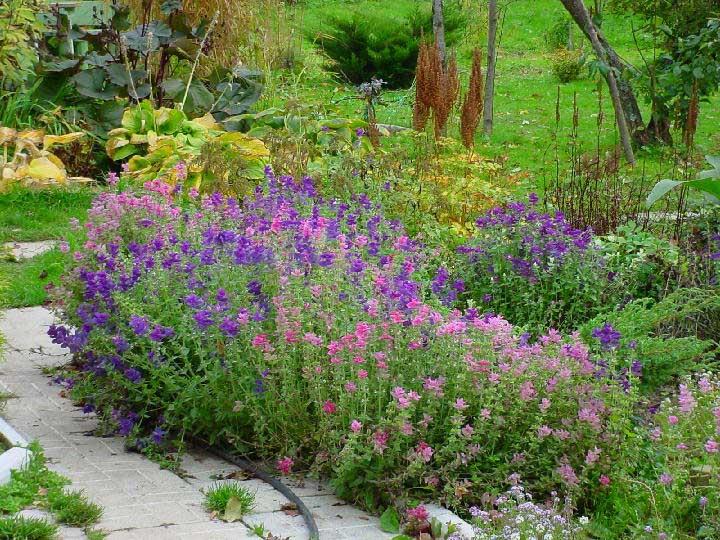 Шалфей в саду
