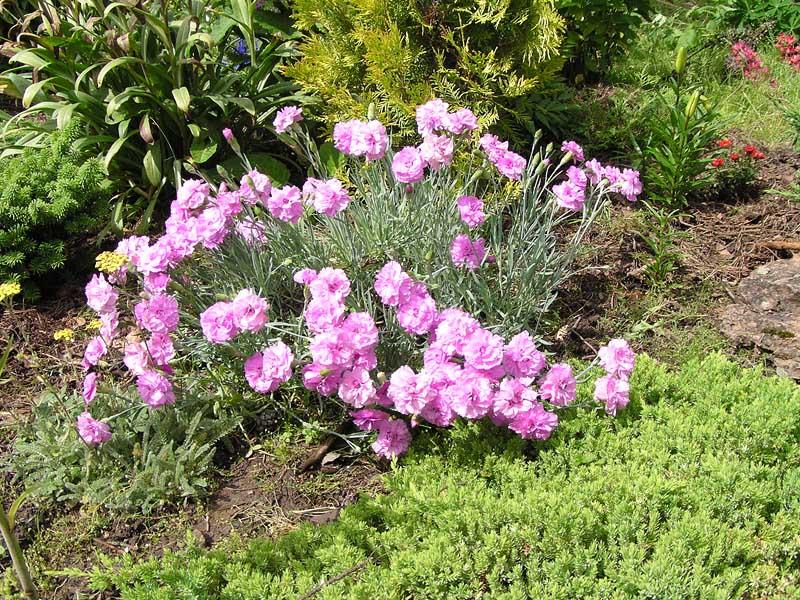 Ползучие садовые цветы