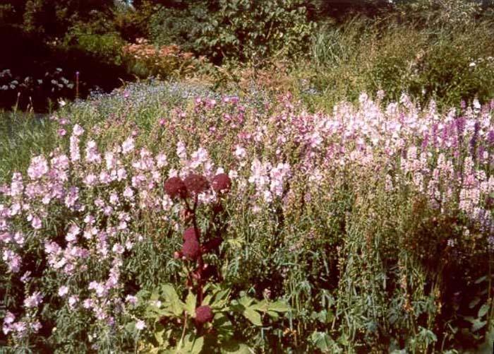 цветок сидальцея