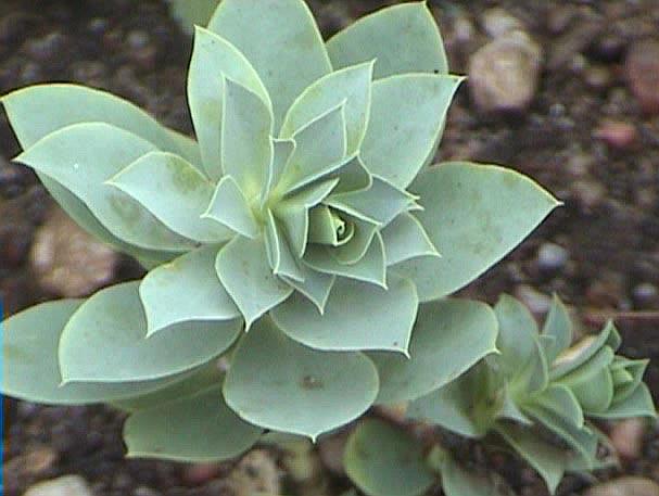 Растение неприхотливо, хорошо растет на солнечном месте и нормальной