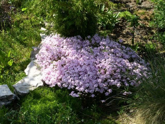 Голубые стелющиеся цветы фото